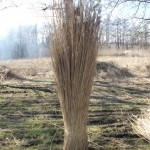 Bos riet